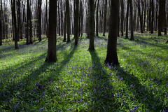 Micheldever Bluebells (RichardHurstPhotography) Tags: greatbritain plants nature bluebells fauna forest woods hampshire micheldever