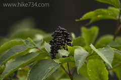 "Elderberry • <a style=""font-size:0.8em;"" href=""http://www.flickr.com/photos/63501323@N07/7132845081/"" target=""_blank"">View on Flickr</a>"