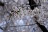 IMGP6914 (Aḥmad) Tags: flower japan spring 桜 日本 sakura kiryu زهرة 春 さくら ساكورا ربيع 桐生 يابان