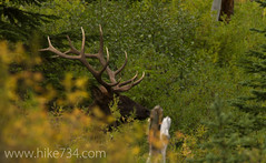 "Bull Elk • <a style=""font-size:0.8em;"" href=""http://www.flickr.com/photos/63501323@N07/7429295688/"" target=""_blank"">View on Flickr</a>"