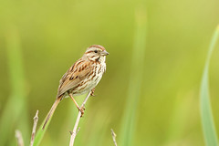Song Sparrow (affinity579) Tags: wild summer bird reed nature nikon quebec wildlife ngc sunny sparrow perch 70200mm songsparrow 2xteleconverter coth specanimal d700