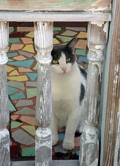 Key West (Florida) November 2011 7539b 5x7 (edgarandron - Busy!) Tags: cats cute cat keys feline florida tabby kitty coco kitties tabbies keywest floridakeys