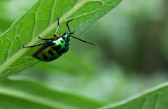 Life is beautiful, when you color it..... (palash_b400) Tags: macro green canon eos bugs dhaka bangladesh 60d