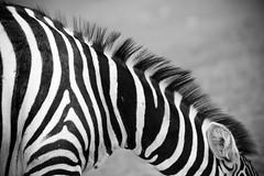 Ystad Djurpark (manuel ek) Tags: wild animal zebra captivity ystad djurpark manuelekphoto