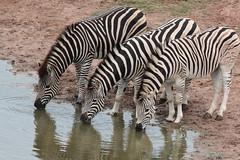 Equus quagga burchellii (Burchell's Zebra) (Arthur Chapman) Tags: southafrica addo easterncape equus quagga plainszebra addoelephantnationalpark burchellszebra burchellii equusquagga equusquaggaburchellii taxonomy:kingdom=animalia taxonomy:class=mammalia taxonomy:phylum=chordata geo:country=southafrica taxonomy:genus=equus taxonomy:family=equidae taxonomy:order=perissodactyla geocode:method=gps taxonomy:binomial=equusquagga taxonomy:common=plainszebra taxonomy:common=burchellszebra geo:region=africa geocode:accuracy=30meters equusbirchellii taxonomy:trinomial=equusquaggaburchellii