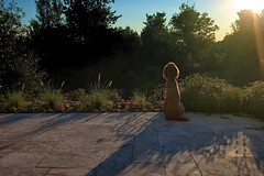 Morning Meditation (Perry McKenna) Tags: morning dog sunrise fuji patio spoo frontyard standardpoodle x100 redpoodle pendragonpoodle