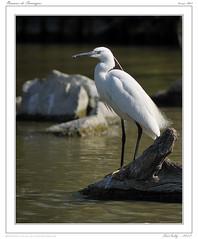 Camargue - Pont de Gau (BerColly) Tags: france birds spring google flickr paca printemps oiseaux camargue bouchedurhone bercolly pondegau
