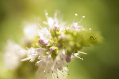 - (  ) Tags: flower macro tree green nature canon paper de photography al mint photographers 500    mounia      fahid     defla