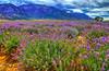 Lavender Fields in HDR (jo_asakura) Tags: flowers summer nature utah ut purple violet lavender fields lovestory 2012 grower lavenderfields violaceous lavenderfield growings