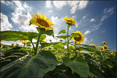 Sunflowers [ Explored ] (beppeverge) Tags: sky sun nature clouds nuvole fav50 natureza fav20 cielo sunflowers sunflower fiori sole girasole girasoli fav10 fav100 explored bestartever mygearandme mygearandmepremium mygearandmebronze mygearandmesilver flickrstruereflection1 flickrstruereflection2 flickrstruereflection3 flickrstruereflection4 flickrstruereflection5 flickrstruereflection6 cluodyskynatura creativephotocafe bewiahn