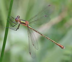 Female Emerald damselfly - Lestes sponsa (Roger H3) Tags: insect damselfly emerald odonata