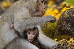 ,,,,,,,,,, Monkeys & Jackfruit ,,,,,,,,,, (Jon in Thailand) Tags: baby thailand eyes nikon monkeys jackfruit primates d300 nikkor70300vr highqualityanimals