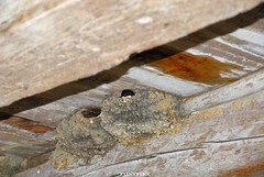 swallow (pontfire) Tags: bird birds swallow oiseau hirondelle oiseaux pjaro fourcs inghiottire tragarse pontfire