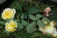 Abandoned (Cross Duck) Tags: yellowrose compostbin deadheading