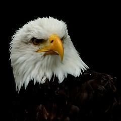 Are you kidding me ? (kawa geggo) Tags: nikon eagle adler bald american tamron 18270 weiskopfseeadler d5100