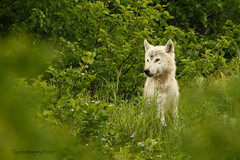 White Wolf 2 (Ross Forsyth - tigerfastimagery) Tags: wild nature alaska mammal bay wolf wildlife free canine backcountry wilderness predator wolves hallo whitewolf hallow katmai katmainationalpark lastfrontier