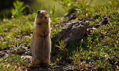 Columbian Ground Squirrel Standing (DCZwick) Tags: canada mountains cute standing rockies squirrel alberta rockymountains groundsquirrel banffnationalpark sunshinevillage canadianrockies sunshinemeadows columbiangroundsquirrel banffpark da50135 urocitelluscolumbianus