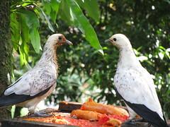 pigeon malaysia kualalumpur klbirdpark kualalumpurbirdpark walkinaviary tamanburung kllakegardens worldslargestcoveredaviary