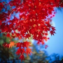 Autumn #15 (princejaffa) Tags: autumn rolleiflex japanese maple acer fujifilm 50 2012 planar rvp 28f rolleinar1 epsonv700