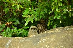 kirstenbosch - owls (meeeeeeeeeel) Tags: africa cute nature beauty southafrica capetown jardimbotânico owls corujas gracinha