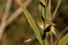 Pouillot Vloce (m-idre31) Tags: bird marais oiseau 34 commonchiffchaff phylloscopuscollybita hrault portiragnes pouillotvloce roselires passriformes phylloscopids
