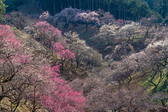 Ome-4367 (Sarah Sutter) Tags: flowers nature japan tokyo spring blossoms ome hanami yoshino plumblossoms floweringtrees baigo yoshinobaigo
