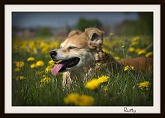 Flowers (patrick.verstappen) Tags: flowers photo yahoo spring google nikon flickr belgium image pat rusty sigma rest facebook picassa gingelom ipernity horseflower d7100 pinterest ipiccy