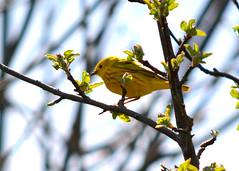 Yellow Warbler (Setophaga petechia) (Larry Wilkin) Tags: camera chicago bird nature animal photo spring nikon greatlakes migration warbler yellowwarbler springmigration setophagapetechia nikond5200 nikonnikkor55400mm