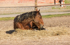 Lunch! (Yvonne L Sweden) Tags: horse spring sweden may lazy maj hst taxinge 3662016