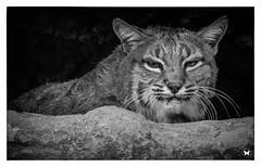 Unhappy Bobcat (ELAINE'S PHOTOGRAPHS) Tags: wildlifenatureanimals bobcats cats bigcats felines