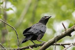 Fledgling (rdroniuk) Tags: birds crows corvids americancrow corvusbrachyrhynchos oiseaux corneilledamérique corneille