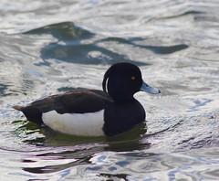 Tufted Duck in Reykjavik lake (gmorient1@aol.com) Tags: iceland duck reykjavik tufted