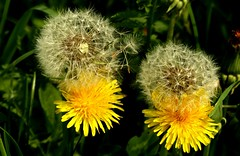 Dandelions going to seed (Charos Pix) Tags: dandelion pissenlit blowball dentdelion pissabed telltime peasantsclock