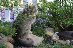 Spook Cat - Visit Yard 4-21-16 03 (anothertom) Tags: cats yard garden lookingback othercat sonyrx100ii spookcat