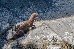Mink (maestro17ca) Tags: ocean park sea fishing bc britishcolumbia wildlife mink coastline westcoast penderharbour sunshinecoast marinepark beaverisland madeirapark wildlifephotography francispointprovincialpark francispointecologicalreserve