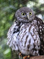 IMG_0092 (OZinOH) Tags: newcastle nsw owl barkingowl strigidae blackbutt ninoxconnivens ninox blackbuttreserve newcastlensw