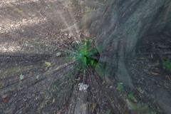 Magic  Shamrock (Jos Ramn de Lothlrien) Tags: naturaleza verde nature shamrock chapultepec trebol treboles mxico ciudaddemxico shamrockhunt