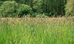 09-IMG_1865 (hemingwayfoto) Tags: blhen gras grasblte heuschnupfen natur norddeutschland ostufer pflanze regionhannover wiese