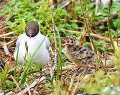 Black headed gull with chick and egg (aktuaroslo) Tags: hettemke chroicocephalusridibundus