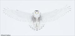 Snowy Owl Pano Wingspread (Daniel Cadieux) Tags: white snowy ottawa flight owl