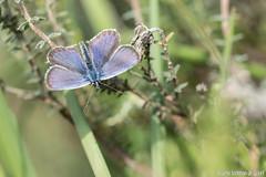 DN9A2881 (Josette Veltman) Tags: macro canon butterfly insect natuur bugs argus vlinder canon100mmmacro natuurmonumenten plebejusargus plebejus canon100mm28 macrofotografie heideblauwtjeheideblauwtjedopheide