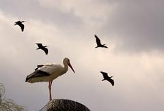FAGAGNA. OASI DEI QUADRIS. (FRANCO600D) Tags: canon sigma volo nido stork fvg storks friuli stormo fagagna friuliveneziagiulia cicogna eos600d franco600d