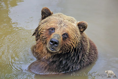 Cooling Off (PamsWildImages) Tags: bear canada nature mammal bc wildlife grizzly