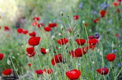 Flores (javier.bohigas) Tags: flowers red color primavera rojo flor campo