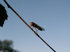 image050 (DanielDeptula) Tags: golden hour zota godzina konica minolta z3 dimage insect fly mucha deptula nature