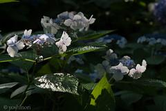 CRW_8427 (kisugi802) Tags: eosd60 2016 長居植物園 20160618