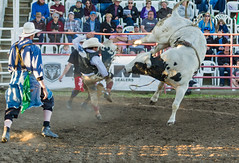 Let's do the Twist! (D.Spence Photography) Tags: horses canada animals danger outside cowboy pentax country lifestyle bulls western cowgirl prairies extremesport 2016 innisfailprorodeo