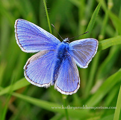 Common Blue Butterfly (chucknowmuch) Tags: adorable attraction animals beautiful butterfly bokeh canon countrywalks countryside cute commonblue eos100d english enchanting feedingtime flower gorgeous garden happydays havingfun lovely landscape love magicmoment nature outdoors outdoor photography park rebel reserve sweet sigma105mm summertime springtime tree trust worcestershire worcester worcestershirewildlifetrust eadesmeadow
