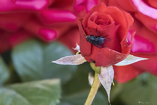 MACRO:UNA MOSCA SU UNS ROSA ROSSA    ----    A FLY ON THE RED ROSE