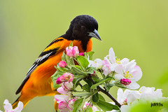Baltimore Oriole (jt893x) Tags: male bird nikon sigma blackbird d500 songbird baltimoreoriole oriole icterusgalbula specanimal mageemarsh nikond500 150600mm sigma150600mmf563dgoshsms jt893x